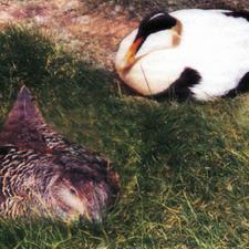 Hauchfeine Brustdaunen schützen die junge Eider-Ente optimal vor der eisigen Kälte.