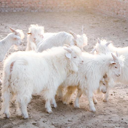 Von der umwelt- und fachgerechten Unterstützung der Bauern bei Zucht und Haltung der Kaschmirziegen ...