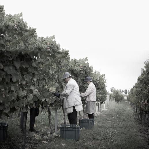 Weinlese bei der Quinta da Cabriz